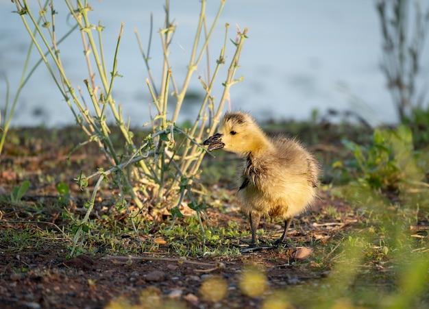 Canada gosling picking alle piante verdi lungo un lago