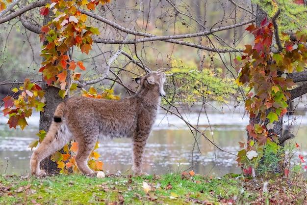 Lince canadese che osserva in su attraverso gli alberi in autunno