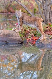 Lince canadese con la riflessione in acqua in autunno