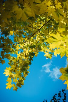 Rami di albero di acero canadese con foglie gialle di caduta contro il cielo blu chiaro alla luce del sole