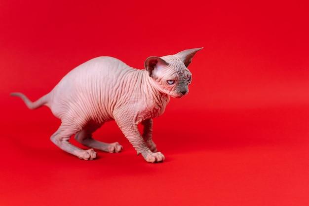 Gatto sphynx canadese di visone blu e colore bianco su sfondo rosso