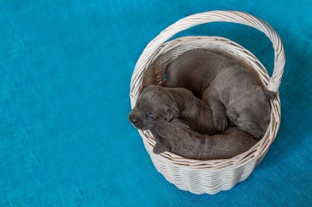 Cucciolo di cane corso italiano seduto nel cestino