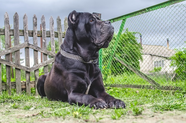 Cane corso siede sul prato, fa la guardia al cortile.
