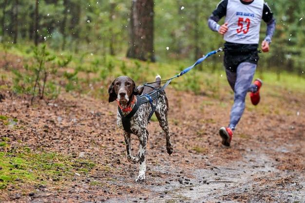 Canicross dog mushing race. cane da slitta puntatore attaccato al corridore. concorso d'autunno.