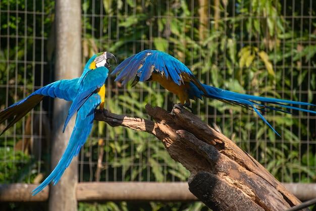 Caninde macaw, bellissimi pappagalli in un centro di riabilitazione in brasile prima di tornare alla natura. luce naturale, messa a fuoco selettiva.