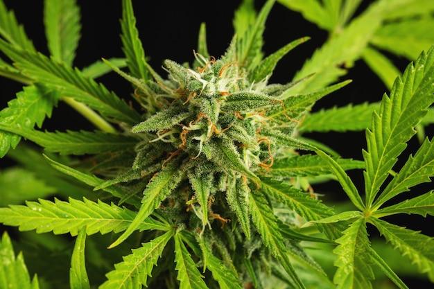 Primo piano dei germogli di cannabis su uno sfondo scuro. un cespuglio di marijuana maturo