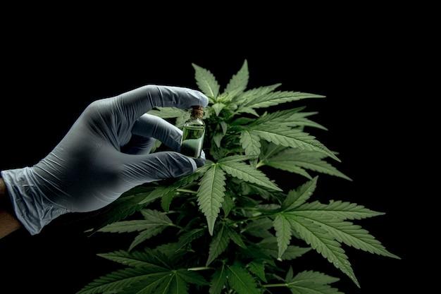 Foglie di cannabis di una pianta su sfondo scuro, estratto di cbd dalla foglia di canapa, piante infestanti come la marijuana, ricerca per benefici medici, concetto di medicina alternativa a base di erbe, olio di thc farmaceutico.