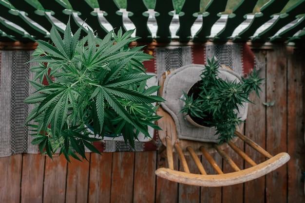 Pianta di cannabis marijuana sulla vista dall'alto del balcone