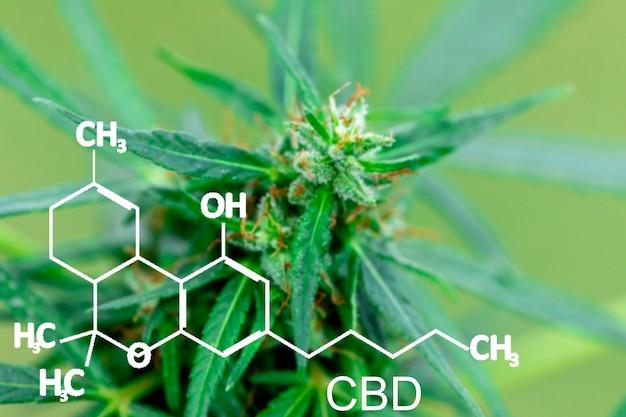 Cannabis marijuana nel defocus con l'immagine della formula cbd