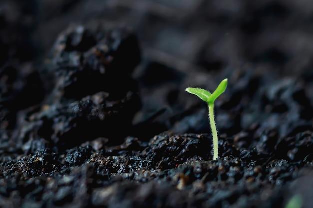 Cannabis crescita delle piante sul terreno