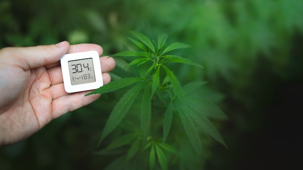 Piante di cannabis, coltivazione di marijuana e misurazione dell'umidità e della temperatura con un termoigrometro in mano. erbacce in crescita per la produzione di hashish