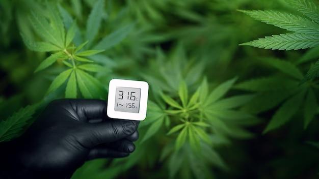 Piante di cannabis, coltivazione di marijuana e misurazione dell'umidità e della temperatura con un termoigrometro in una mano con un guanto nero. erbacce in crescita per la produzione di hashish