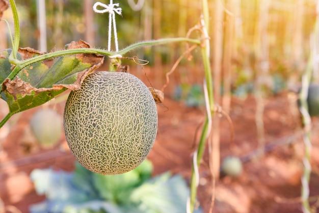 Melone cantalupo che cresce nel giardino, fattoria di melone verde biologico in serra