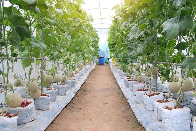 I meloni del cantalupo germogliano che crescono nell'azienda agricola biologica della serra