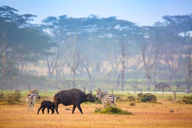 Bufali e zebre in kenya, africa.