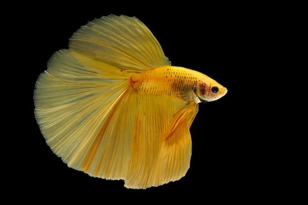 Cattura il momento commovente del pesce combattente siamese giallo isolato su sfondo nero