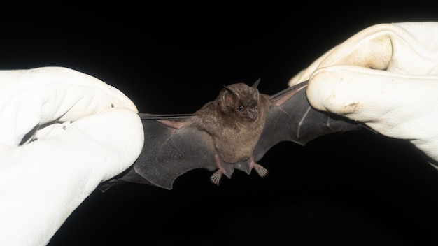 Pipistrello catturato, pipistrello dalla coda corta di seba (carollia perspicillata) brillenblattnase