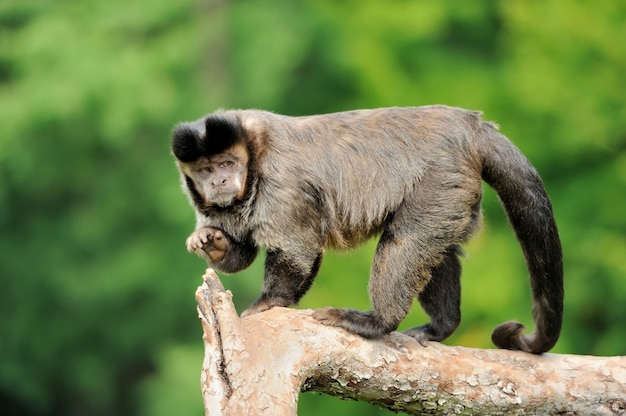 Scimmia cappuccino