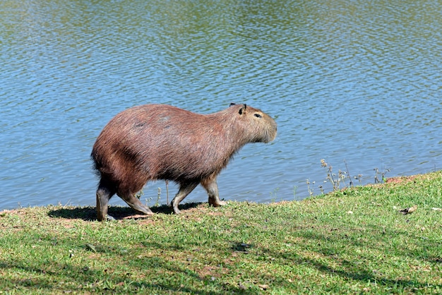 Primo piano di capybara al bordo di acqua