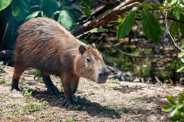 Capibara nel suo habitat naturale