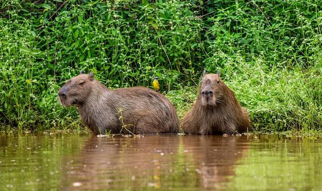 Capibara vicino al fiume nell'erba