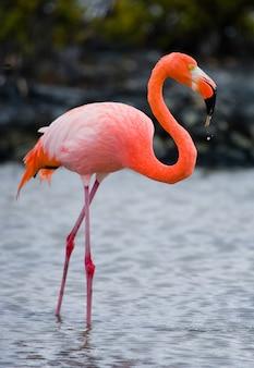 Fenicotteri caraibici in piedi nella laguna. le isole galapagos. uccelli. ecuador.