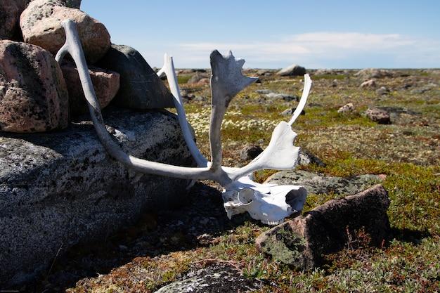 Corna di caribù trovate nella tundra artica vicino a un mucchio di rocce