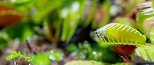 Pianta predatrice carnivora venere acchiappamosche - dionea muscipula.