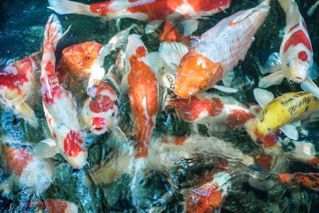 Carpa di pesce o carpa fantasia koi giapponese o pesce koi chiamato è un bellissimo animale acquatico Foto Premium
