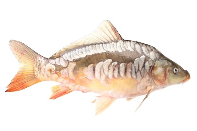 Pesce carpa su uno sfondo bianco