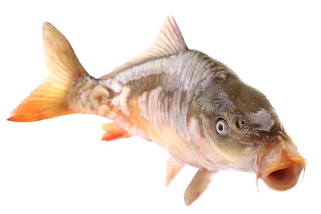Pesce carpa su sfondo bianco