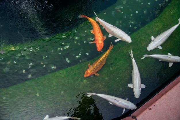 La carpa nuota in uno stagno ornamentale. colore del pesce dorato e bianco. allevamento e mantenimento del pesce.