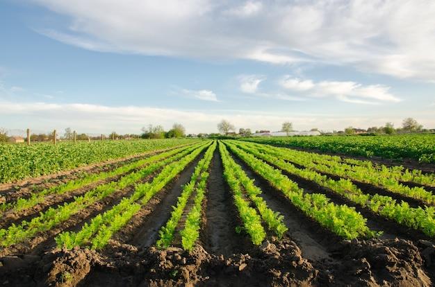 Le piantagioni di carote crescono nel campo filari di ortaggi coltivazione di ortaggi