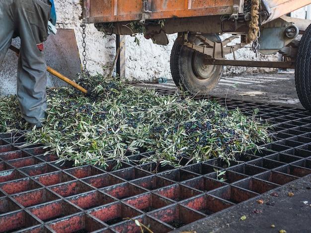 Carrello scarico raccolta olive per il processo di pulitura e defogliazione delle olive in un moderno frantoio