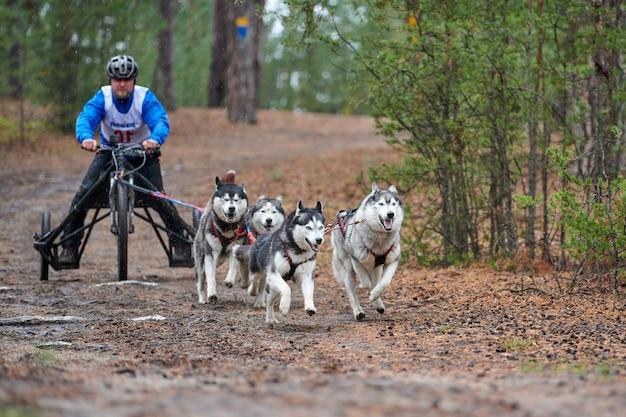 Karting dog mushing race. cane da slitta husky che tira il carrello. dryland crosscountry mushing gara autunnale.