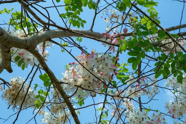 Cassia bakeriana horse cassia pink è un albero rosa fiorito pieno di fiori
