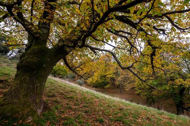Castanea sativa in autunno foglie gialle che cadono