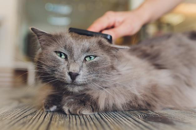 Gatto dopo aver graffiato. il risultato di graffiare un animale domestico. pezzo di pelliccia.