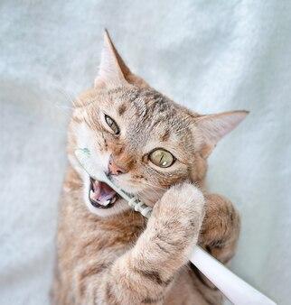 Il gatto si lava i denti con uno spazzolino da denti