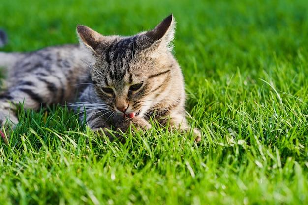 Il gatto prese un topo. avvicinamento.