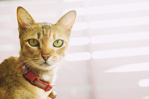 Gatto catturato con un campanellino rosso al collo. il viso sembra strabico
