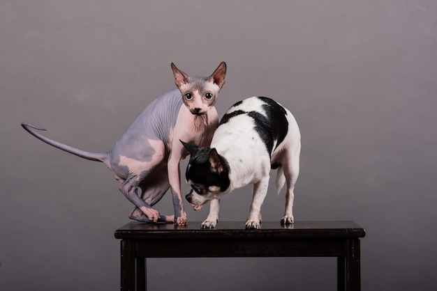 Gatto e cane insieme davanti a uno sfondo grigio in studio, canadian sphynx, chihuahua