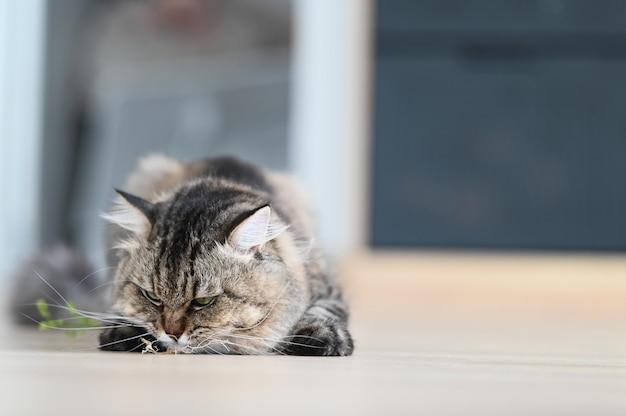 Un gatto che mangia erba nel soggiorno