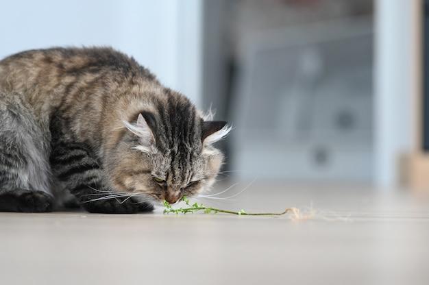 Un gatto che mangia erba verde sul pavimento nel soggiorno