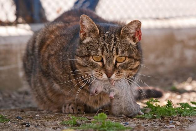Gatto che mangia un topo