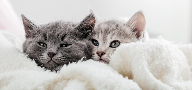 Facce di gatto fanno capolino da sotto la coperta. simpatici gattini divertenti. coppia famiglia di gatti ritratto su superficie bianca. i gatti guardano dal lato. banner web lungo con spazio di copia.