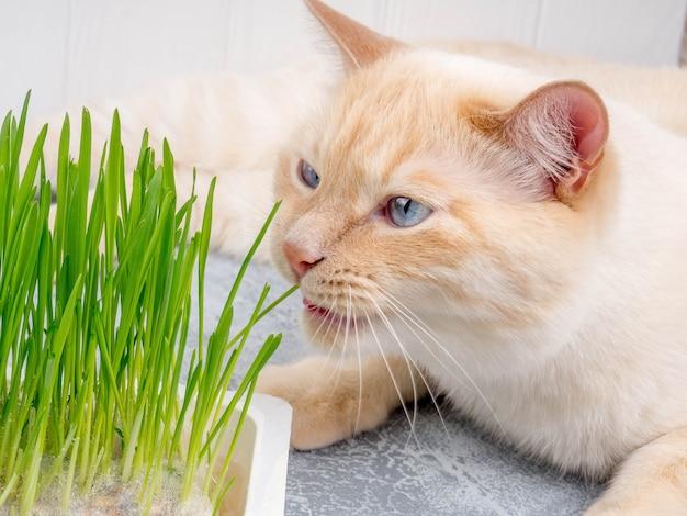 Il gatto sta mangiando l'erba verde fresca. trattamento naturale per boli di pelo.