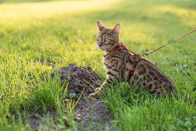 Il gatto al guinzaglio cammina per strada al tramonto.