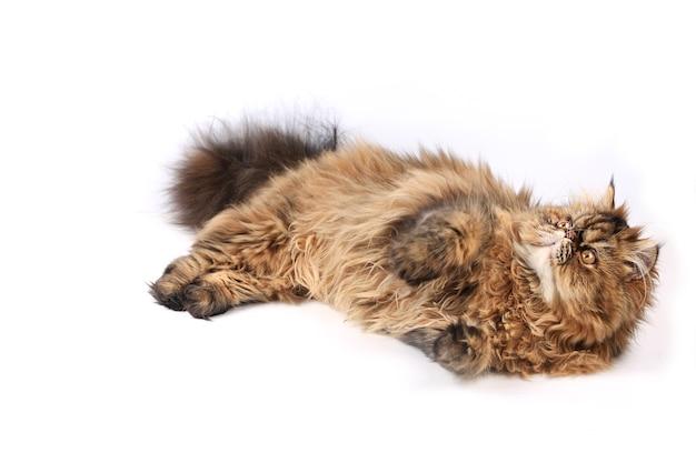 Il gatto mente e cerca isolato su sfondo bianco razza persiana