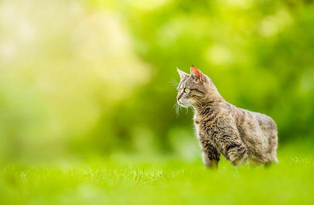 Gatto all'aperto su erba verde. animali in natura. Foto Premium